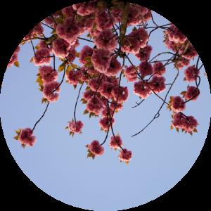 floralix-kirsche