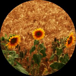 floralix-zannflauer